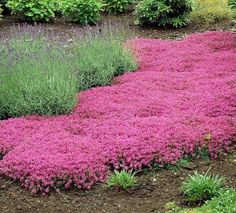100 Seeds new Rare Red Creeping Thyme Perennial Ground Cover garden plants flowers Etsy - Shopping C Red Perennials, Ground Cover Plants, Ground Cover, Creeping Thyme, Plants, Cool Plants, Red Creeping Thyme, Perennials, Garden Plants