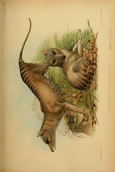 v.1 plates: Mammalia (1848-1860) - Proceedings of the Zoological Society of London. - Biodiversity Heritage Library