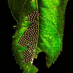 Orb weaver eggs on the bottom of a leaf. The 'stage' is a milk carton with black foam core and small waxed cardboard flags to control light fall. One flash was positioned to the rear through a small slit, and one flash to camera right through another slit… Flags, Plant Leaves, Core, Milk, Amp, Photography, Fotografie, Photograph, Photo Shoot