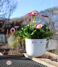 Bellis, Greenhouse, drivhus, Ib Laursen, flowers, blomster, Havets Sus, Denmark