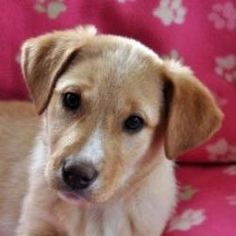 Aspin is an adoptable Labrador Retriever Dog in Elk Grove Village, IL. Email: Puppyfoster101@aol.com Call 630-775-1819 Puppy breath, soft fur, a round belly, big innocent eyes and lots of puppy kisses...
