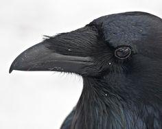 raven beak images - Google Search