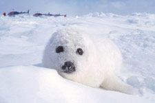 Phoque du Groenland (blanchon) Îles de la Madeleine Antarctica, Polar Bear, Cap, Photos, Harp Seal, Archipelago, Polar Fleece, Wild Life, Madeleine