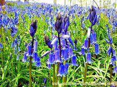 Blue Bells in Kent
