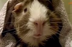 Interview with a guinea pig - hilarious!