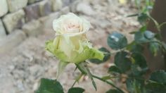 ورد الجوري Rose