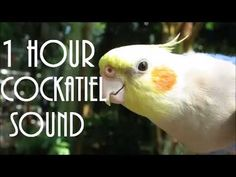 60 minutes of Aviary. (1 Hour Uninterrupted, Narration free birdies.) - YouTube
