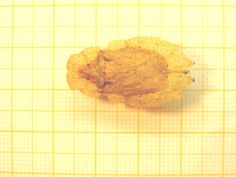 Phloea subquadrata.