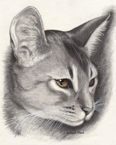 Beautiful Abyssinian Cat Drawing | Pictures of Cats