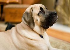 According to statistics, the English Mastiff is one of the oldest dog breeds on the planet as theirs records dating back to Ancient Greece. For people who prefer bigger dogs, the English Mastiff will be a perfect choice. American Mastiff, British Mastiff, American Bully, Lazy Dog Breeds, Giant Dog Breeds, Giant Dogs, Mastiff Breeds, Mastiff Puppies, Dogs And Puppies