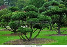 Find the perfect mugo pine pinus mugo stock photo. Huge collection, amazing choice, million high quality, affordable RF and RM images. Landscaping Trees, Modern Landscaping, Mugo Pine, Pine Bonsai, Backyard Plants, Asian Garden, Victory Garden, Yard Design, Pine Tree