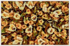 Tulips (4) von Michael Farnschläder
