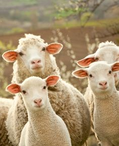 Sheeps and lambs: boycott wool!! There ARE alternatives that do not require pain and torture.