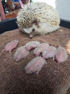 Adorable mama hedgehog with her babies.