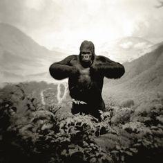 "mpdrolet: "" Mountain Gorilla, Kivu Volcanoes, Zaire, 2003 from Glass Eyes Eric Slayton "" Animal Photography, Fine Art Photography, Gorillas In The Wild, Congo Free State, Belgian Congo, Mountain Gorilla, Planet Of The Apes, Guerrilla, Photos Du"