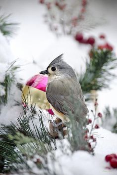 #Holiday #Cheer With A Titmouse by Christina Rollo. Cute close-up of Tufted Titmouse perched in the white snow with colorful #Christmas ornament, decorative red berries, and pine.   SHOP MY COMPLETE COLLECTION AT:  www.rollosphotos.com