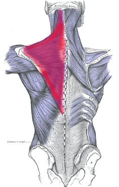 "Trapezius Muscle - my lower trapezius was detached and ""flapping"" from the medial border (closest to spine) of my scapula - this image creates a pretty good visual of how extreme that is!"