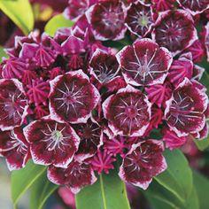 Keepsake Kalmia latifolia Mountain Laurel Shrub