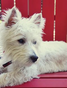 West Highland Terrier image new passport for pet rules 2014 #PetPassport