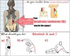 the ql muscles play an important role in supporting our