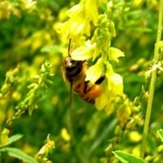 over 100 Seeds Melilotus officinalis bees di HoneyTreeandBehind