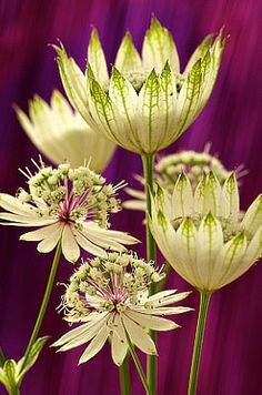 Astrantia major 'Star of Billion' promises to twinkle in the garden! Its white and green flowers, surrounded by bracts that look like an Elizabethan collar, are set above lovely, lacy foliage. The long-lasting flowers actually look like they hold countless pins in a pin cushion. Astrantia prefers shade or partial shade and will grow in most garden soils. Adored by florists, Astrantia makes an outstanding cut flower with a vase life of at least 10-14 days.