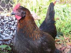 We breed Black Copper Marans chickens on our small farm in New York state. Learn more about our French Copper Marans and buy chicks or hatching eggs. Maran Chickens, Pet Chickens, Raising Chickens, Rabbits, Red Feather, Black Feathers, Chicken Breeds, Chicken Coops, Black Copper Marans