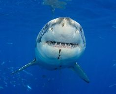 maybe not laughing...Cape Cod Warned About Great White Sharks
