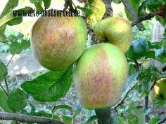 Wilstedter Apfel Stormarn in Schleswig-Holstein, ohne Jahr mittelgroße, rotgestreifte Frucht, süß-säuerlich, Verwendung: als Tafelapfel, als Küchenapfel, mittelstarker Wuchs