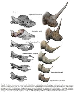Species New to Science: [PaleoMammalogy • 2012] A Bizarre tandem-horned elasmothere rhino from the Late Miocene of northwestern China and origin of the true elasmothere