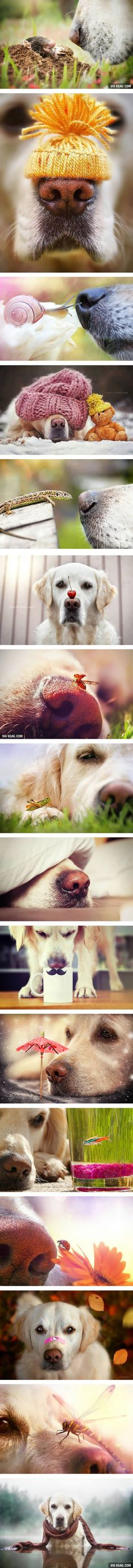 This Dog Owner Take Pictures Of His Golden Retriever's Nose Because He Just Loves It