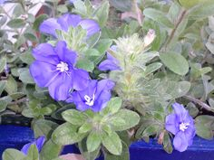 """Love this new flower called, """"Blue My Mind"""" that we purchased from the Northville Farmer's market.  The flower opens and closes!"""