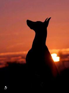 #Doberman #Silhouette