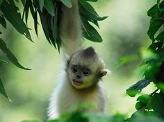 China's Golden Monkeys