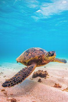 """lsleofskye:  """"Hawaiian Green Sea Turtle  """""""