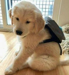 How to care for and train Golden Retriever Puppies - The How of Things diy funny tattoo bonitos cachorros graciosos Super Cute Puppies, Cute Baby Dogs, Cute Little Puppies, Cute Dogs And Puppies, Cute Little Animals, Cute Funny Animals, Doggies, Mutt Puppies, Chow Puppies