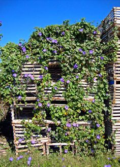 Morning Glory flowers on old Lobster Traps, Florida Keys