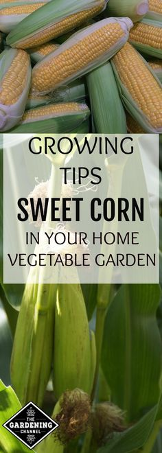 Use these growing tips to learn how to successfully grow and harvest sweet corn from your vegetable garden.
