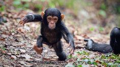 15. Chimpanzee