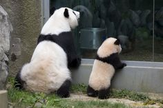 Zoo Atlanta  Giant Pandas Lun Lun and Po