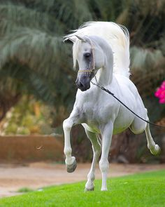 Egyptian arabian stallion <3 <3 <3