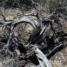 The incredible beauty of a Xeric Big Sagebrush (Xericensus tridentata), is in its twisted form. Owyhee County, Idaho. #desert #sagebrush #plantsofinstagram #abstract #artistic #beauty #oldwood #aged #twisted #outdoor #adventure #hike #bike #mountains #amazingview