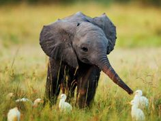Baby Elephant meets Baby Egrets