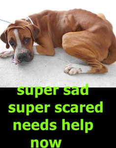 ROMMEL (A1818999) I am a male brown and white Boxer mix. The shelter staff think I am about 3 years old and I weigh 58 pounds. I was found as a stray and I may be available for adoption on 10/02/2016. — Miami Dade Animal Services Pet Adoption and Protection Center.
