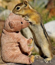 a golden-mantled ground squirrel and a stuffed bear