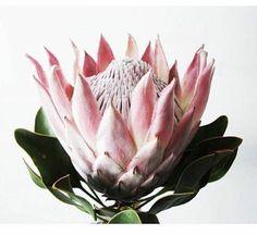 Floreando: Protea - Decorar com Flores