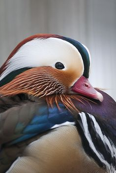 Mandarin duck resting peacefully for a portrait, Budapest