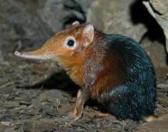 An odd-looking creature has been discovered in the mountains of the African country Tanzania. It's proper name is Rhynochocyon udzungwensis, it's the size of a cat and looks like a cross between a tiny antelope and a small ant eater.