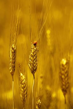 Rasha remembered the golden fields of her childhood but she didn't miss them. Shades Of Gold, Shades Of Yellow, Fields Of Gold, Gold Aesthetic, Stay Gold, Liquid Gold, Touch Of Gold, Jolie Photo, Mellow Yellow
