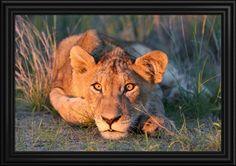 Lion Cub, Kruger National Park, South Africa